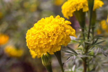 old photo: Marigold flower from Thailand Stock Photo