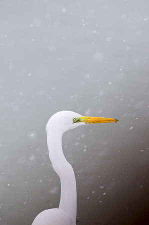 Portratit of a white heron in winter under snow