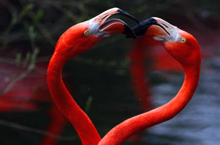 Portratit photo of two red flamingos making an heart together