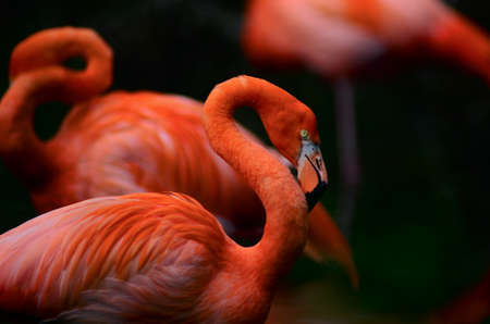 Portratit photo of a gorgeous red flamingo