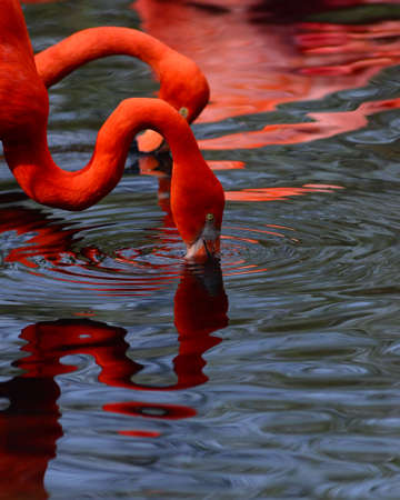 vermilion: Two red flamingos plunging in the water Stock Photo
