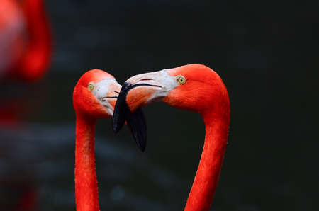 vermilion: Wonderful red flamingos on a black background