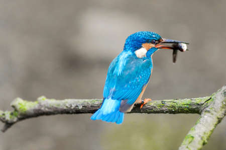 kingfisher: A colored kingfisher is eating a fish Stock Photo