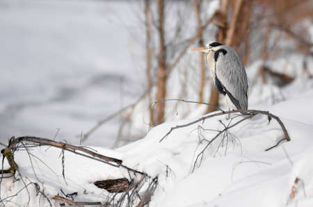 A beautiful gray heron staring in the winter