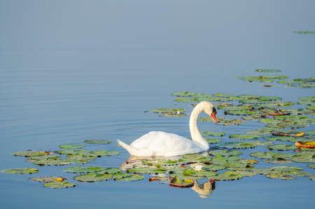 A beautiful swan swim in the lake Archivio Fotografico