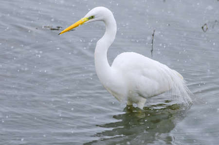 A great egret swimming in a lake in winter