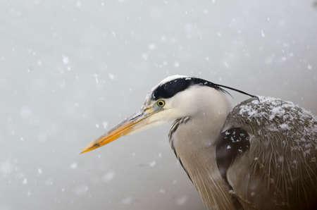 Beautiful gray heron close up Archivio Fotografico
