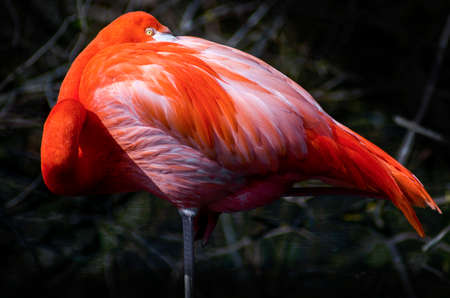 Awesome red flamingo portrait