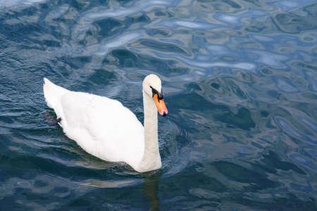 A swan swimming in lake