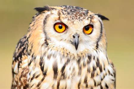 Big eagle owl  head  closeup Archivio Fotografico