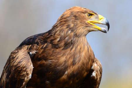 A Beatiful Royal eagle close up Archivio Fotografico