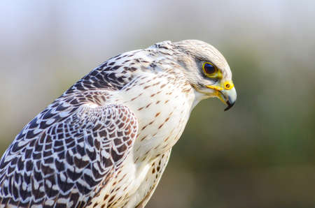 An aggressive falcon waiting to attack