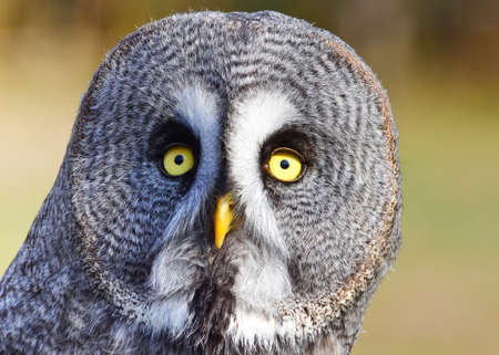 An awesome close up of a great grey owl