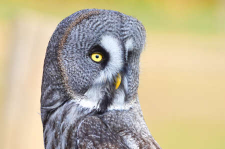 A wonderful close up of a great grey owl Archivio Fotografico