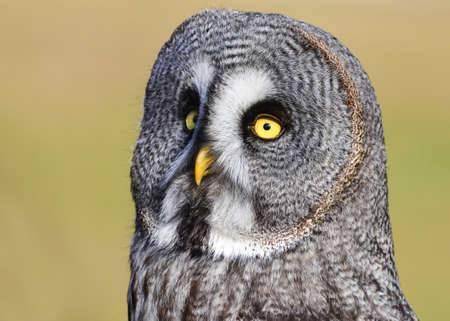 A fantastic  portrait of  a great gray owl