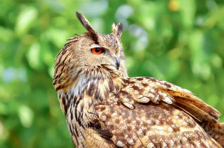Eagle owl shilouette