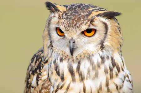 Enraged Eagle owl  head  closeup