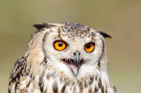 Fantastic Eagle owl  head  closeup