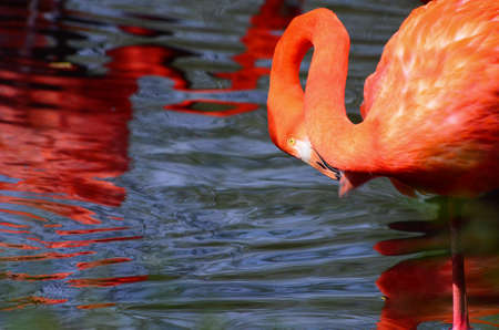 Horizontal portrait of a greater flamingohiding in his neck Archivio Fotografico
