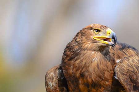 Golden Eagle close up Archivio Fotografico