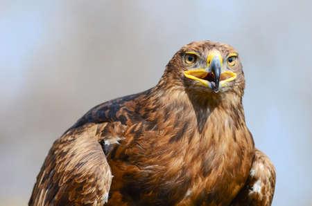 aguila dorada: Golden Eagle mirando al frente Foto de archivo