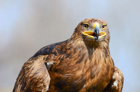golden eagle: Golden Eagle staring ahead Stock Photo