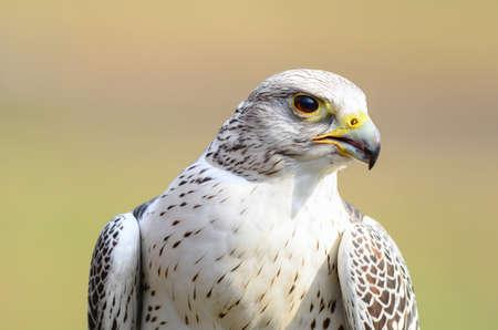 A wonderful Falcon close up