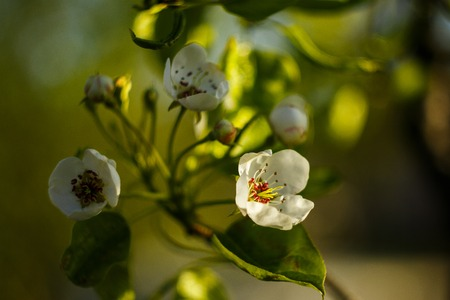 A pear flowers blossom on yellow green leaves background. A flowers at the sunny day