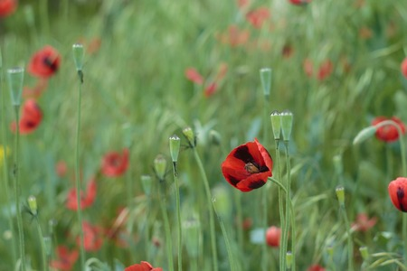 Poppy on the meadow at the daylight. Lonely Poppy flower in a daylight. Poppy flower photography outdoor Imagens