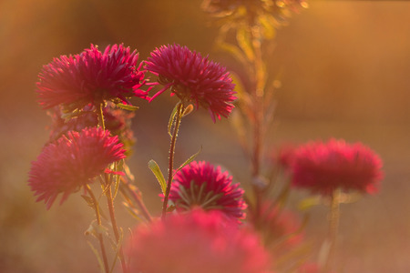 Beautiful aster flowers highlighted by the lens flare. Aster flowers blossom in golden sunlight. Autumn nature. Cosmos flowers blossom