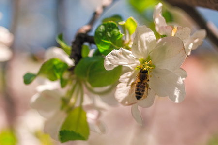 Golden bee sitting on white petal of apple tree. A bee pollinating flower at the spring day. Spring nature in Ukraine. 免版税图像
