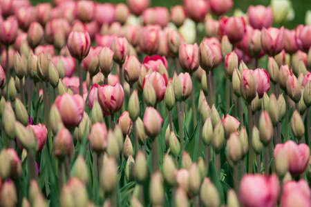 bulb fields: Giant field of pink tulips with snow capped Olympic mountains in background. Annual spring tulip festival draws thousands of visitors to Washington states Skagit Valley where millions of bulbs bloom. Stock Photo