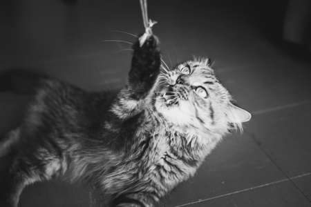 Cat plays with a rope: he caught the end and fiercely pulls it down whereas his master is almost invisible, only his bare feet are seen in the shadows of the dark right corner. Black and white