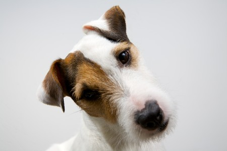 clever dog on a white background
