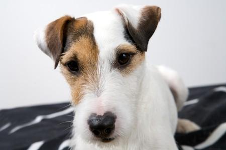 dog portrait on a white background Stock Photo