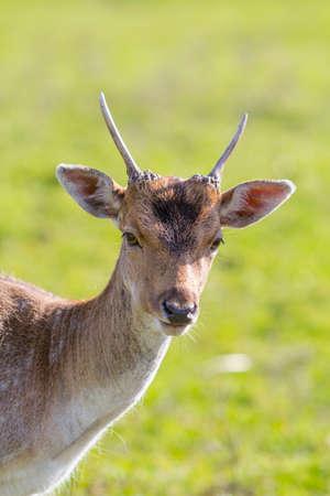 Small deer photo
