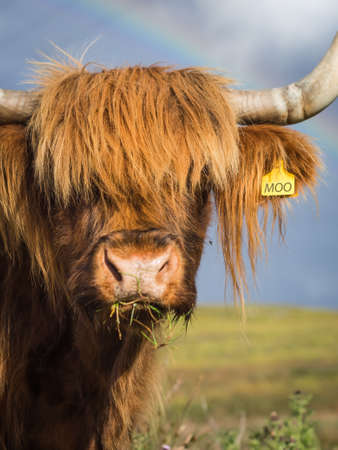 closeup cow face: Close up portrait of a highland cow in sunshine