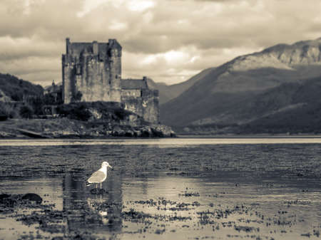 loch: Lonesome Seagull in Foreground with Eilean Donan Castle as Backdrop Stock Photo