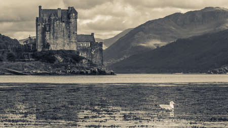 highlander: Gaviota solitaria en primer plano con Eilean Donan Castle como telón de fondo