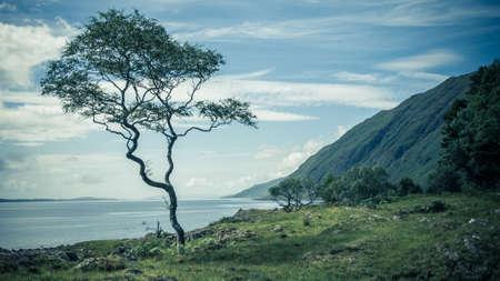 windswept: Single Windswept Tree on Scottish Coastline