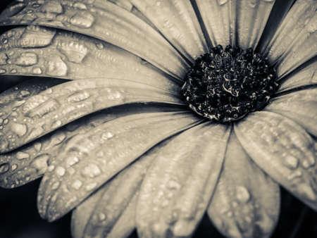 golden ratio: Flor con gotas de agua maco blanco y negro
