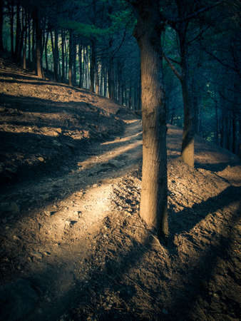 shadowy: Shadowy pine forest with evening sunlight filtering through the trees