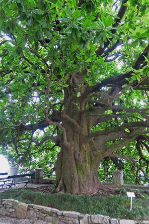 century plant: big old magnolia tree in Varenna, Lake Como, Italy