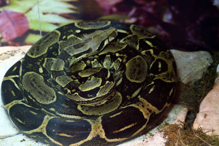 Large specimen of boa constrictors, about 4 meters long, coiled