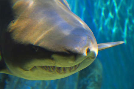 sand shark: Impressive Closeup of sand tiger shark large, about 3 meters long Stock Photo