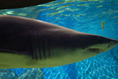 sand shark: View of sand tiger shark large, about 3 meters long Stock Photo
