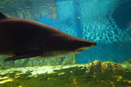 sand shark: Beautiful and large specimen of sand tiger shark, 3 m long.Animal at risk of extinction Stock Photo