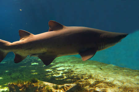 sand shark: View of sand tiger shark about 3 meters long