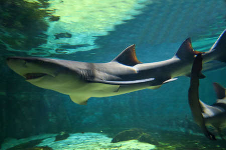 animal viviparous: Beautiful lemon shark, about 3 meters long