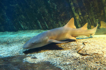 edible fish: View of a nurse shark on a seabed, about 3 meters long Stock Photo